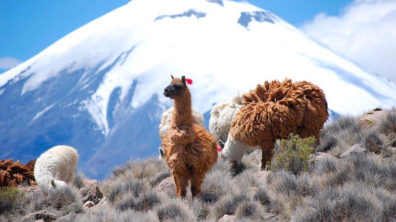peruviaanse alpacas