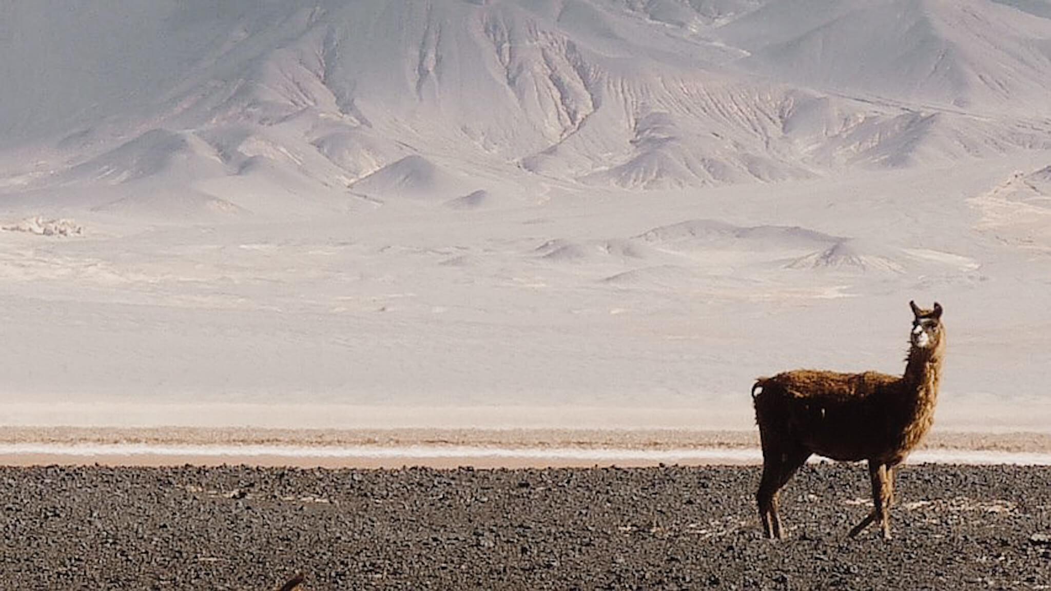 Alpaga desert-2.jpg