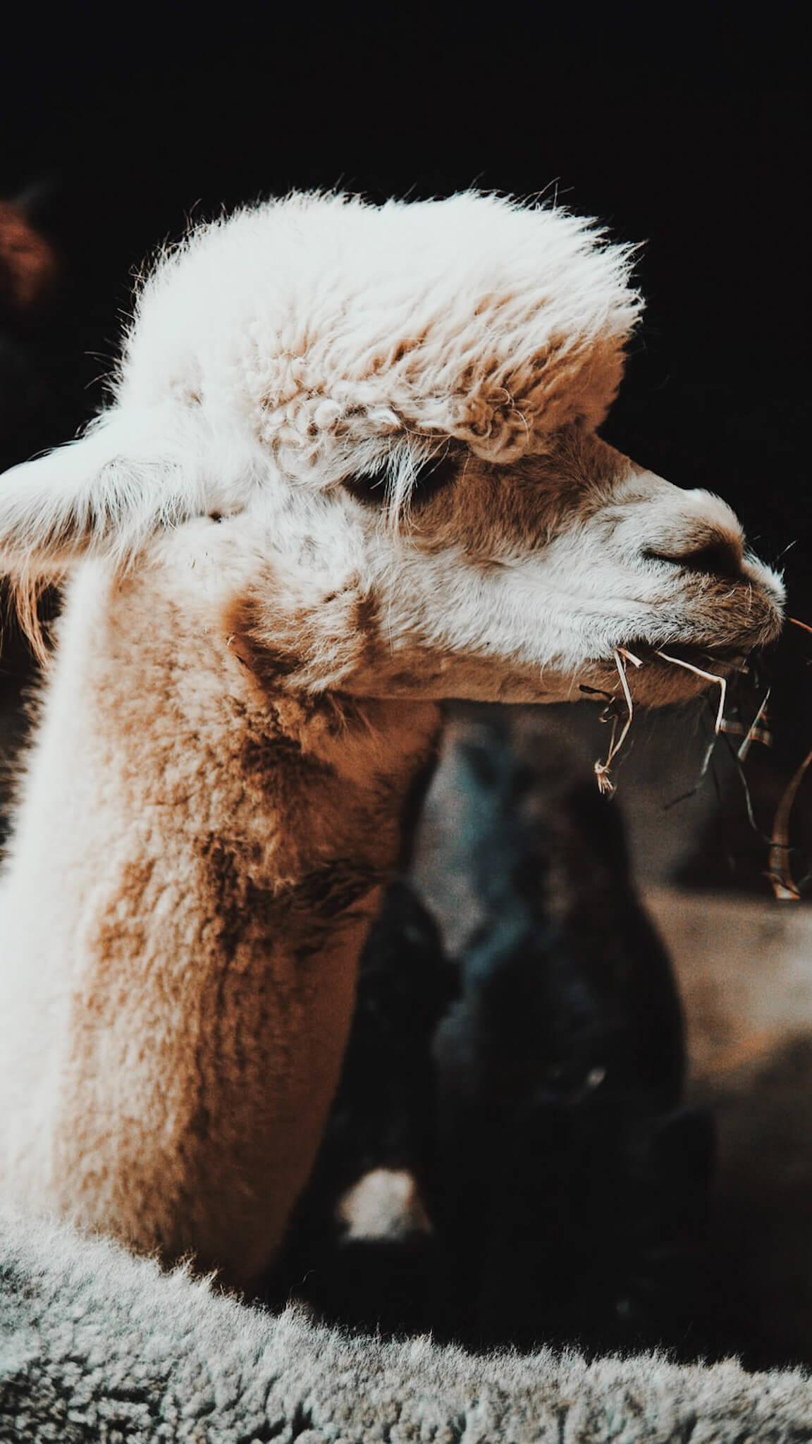 Alpaca%20mange.JPG