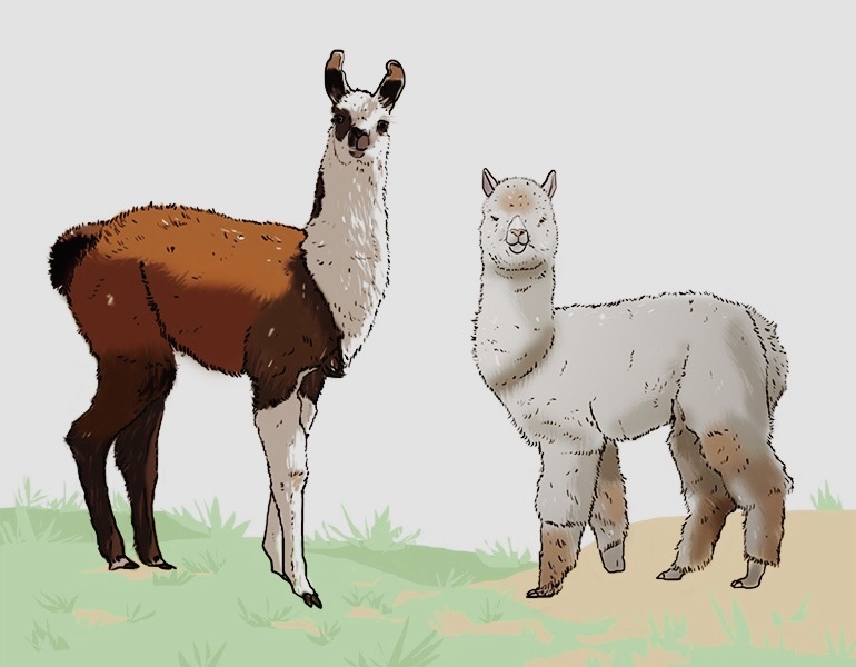 Alpaga ou Lama.JPG