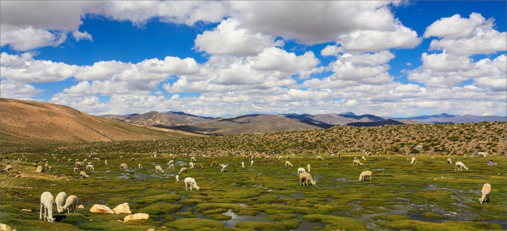 L'Alpaga est un cousin du Lama qui vit sur les très hauts plateaux des Andes