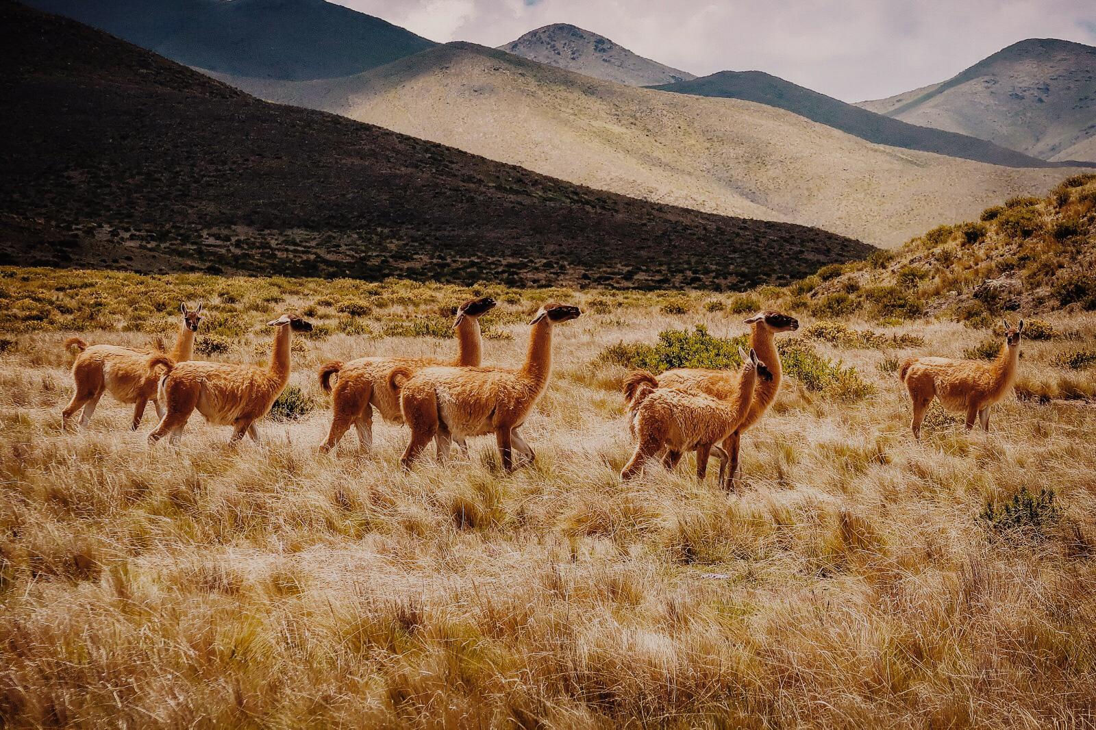 Alpaca's in de bergen