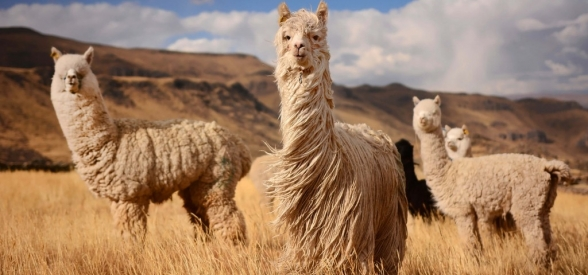 Alpaca, what do you know (really)?