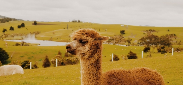 Alpaca, a therapeutic aid ?